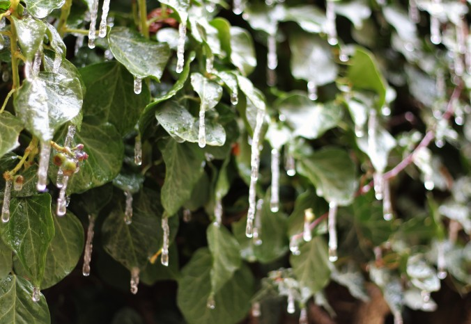 Icicles on leaves- yep it was that cold!